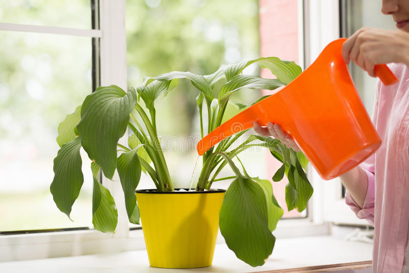 Woman pouring plant with water can. Female watering plant in yellow flower pot with orange water can stock photography