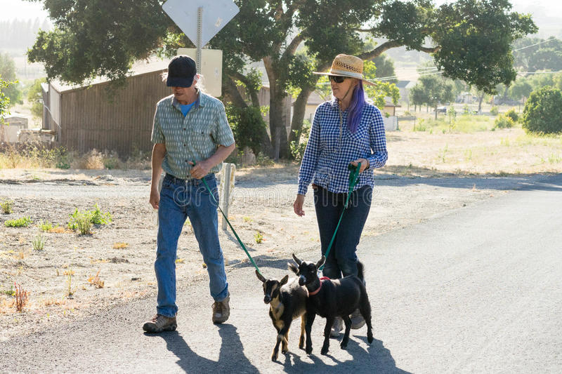 Woman with Purple Hair and Man Walking Goats on Country Road royalty free stock image
