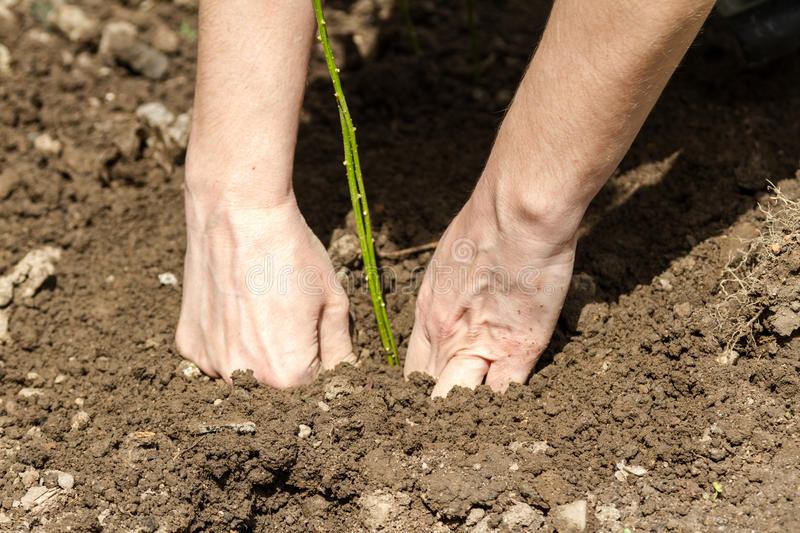Woman puts pepper in the ground. A woman puts pepper in the ground and compacts the soil stock images