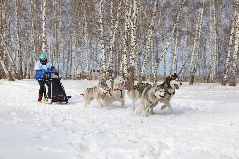 A woman in a race for four dogs of the breed Siberian husky in winter during Husky festival 2019 in Novosibirsk royalty free stock images