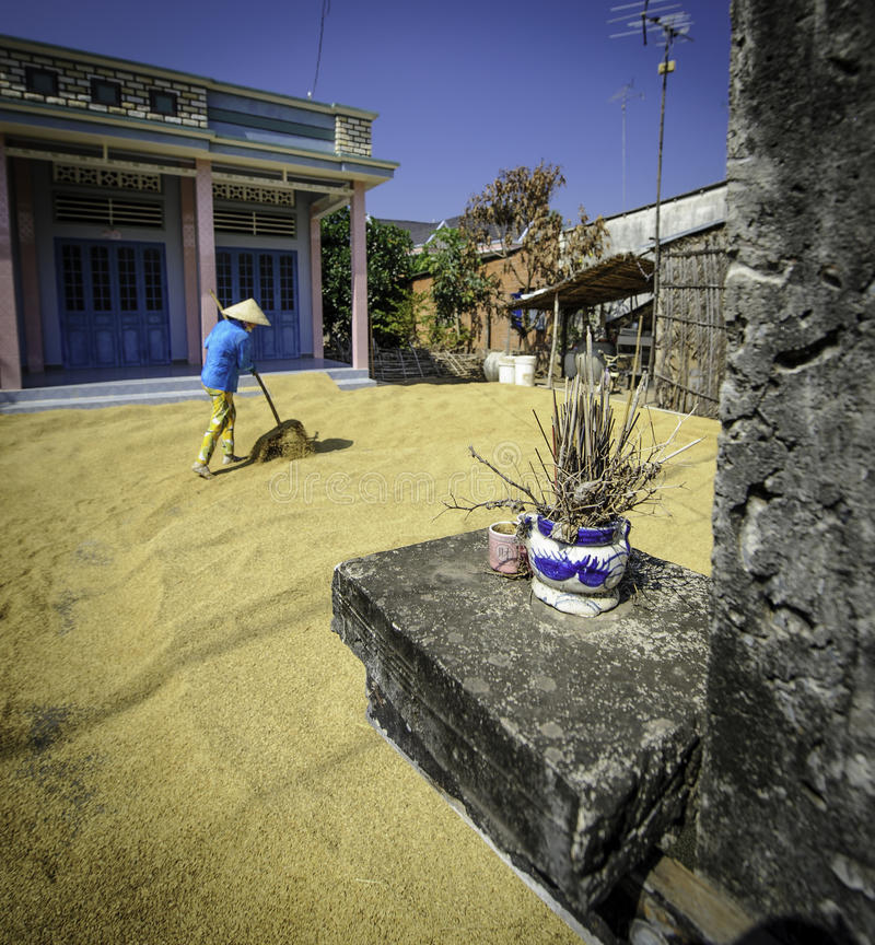 Download Woman Drying Rice Grains,vietnam Editorial Stock Image - Image: 30008429