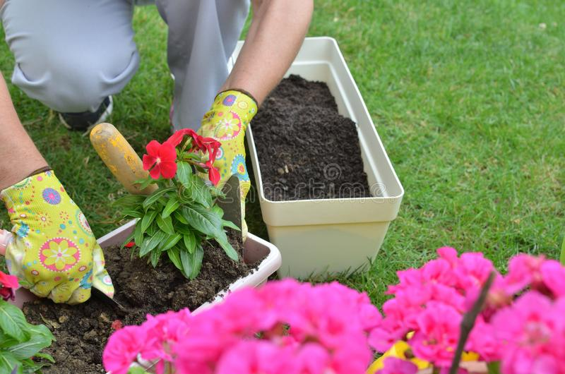 Woman re-potting flower royalty free stock photo