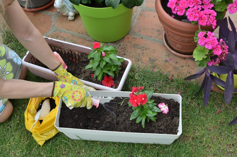 Re-potting in a garden royalty free stock photography