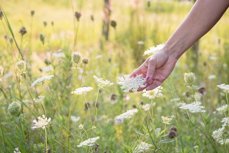Woman reaching out and touching queen annes lace flowers in field. Woman in field of wildflowers holding queen annes lace flower in hand royalty free stock image