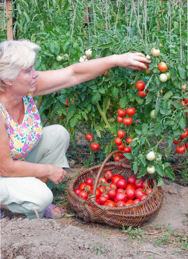 Woman Reaps A Crop Of Tomatoes Royalty Free Stock Image