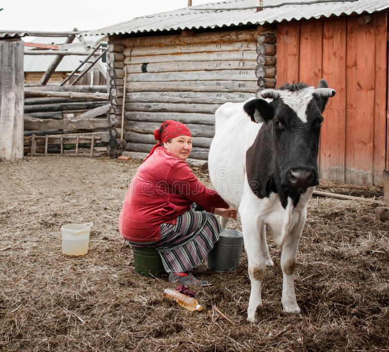 A woman in a red headscarf hand milks a cow in a Siberian village, Russia royalty free stock photo