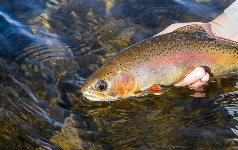 Woman Releasing  Rainbow Trout Caught Fly Fishing royalty free stock image