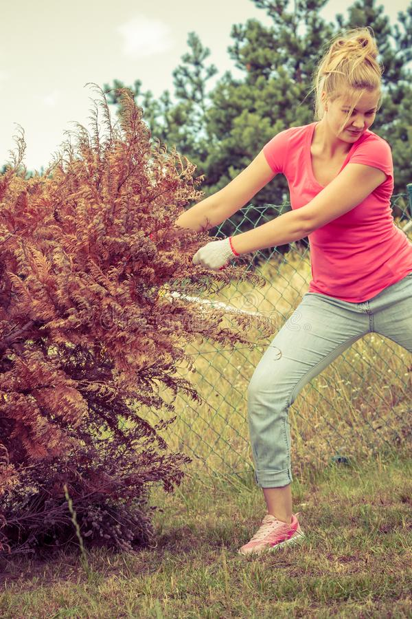 Woman removing pulling dead tree royalty free stock image
