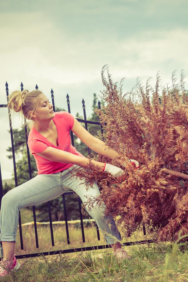 Woman removing pulling dead tree stock images