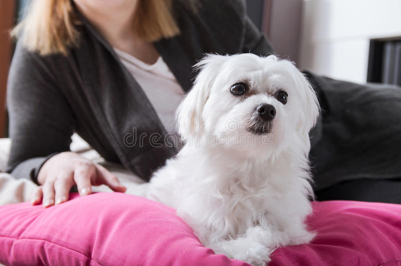 Woman rests with small thoroughbred maltese royalty free stock photo