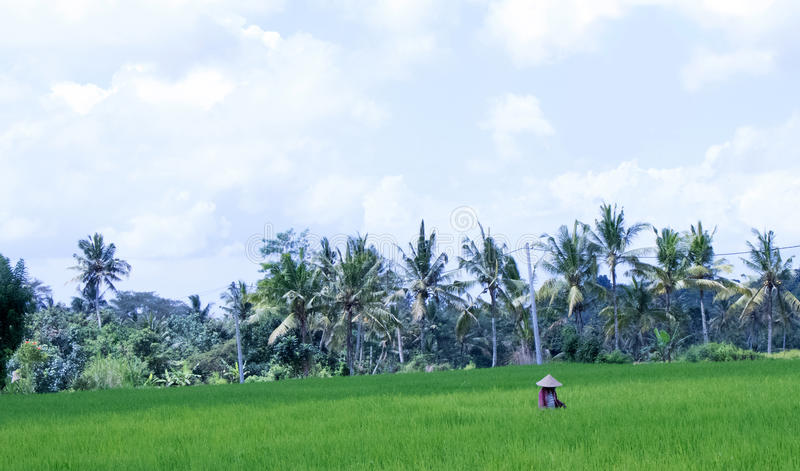 Woman in Rice Paddy Field stock images