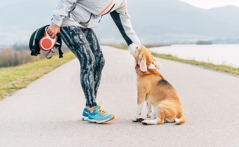 Woman runner training her beagle dog before cannecross morning exercise royalty free stock photo