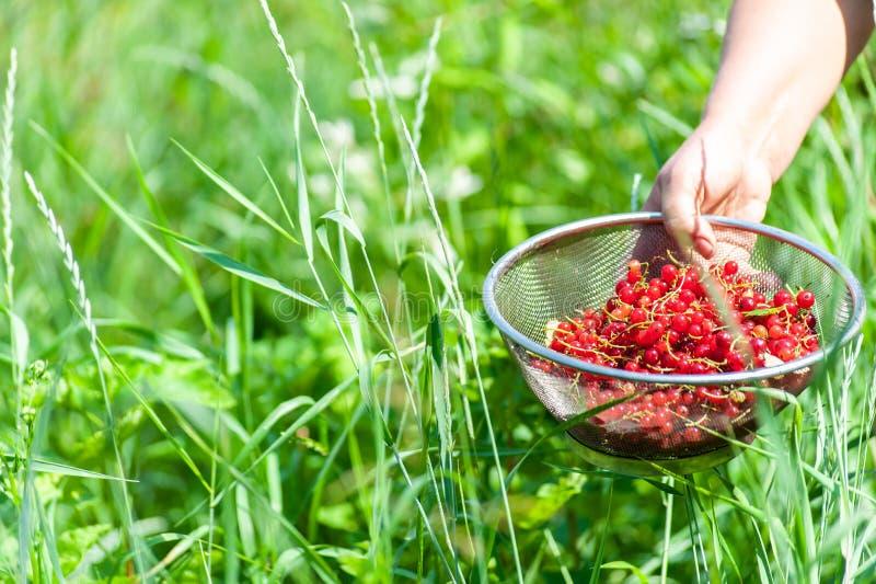 Woman' s of girl' s hand die een zeef met rode aalbessenbessen binnen houden op groene gras of tuinachtergrond royalty-vrije stock afbeelding