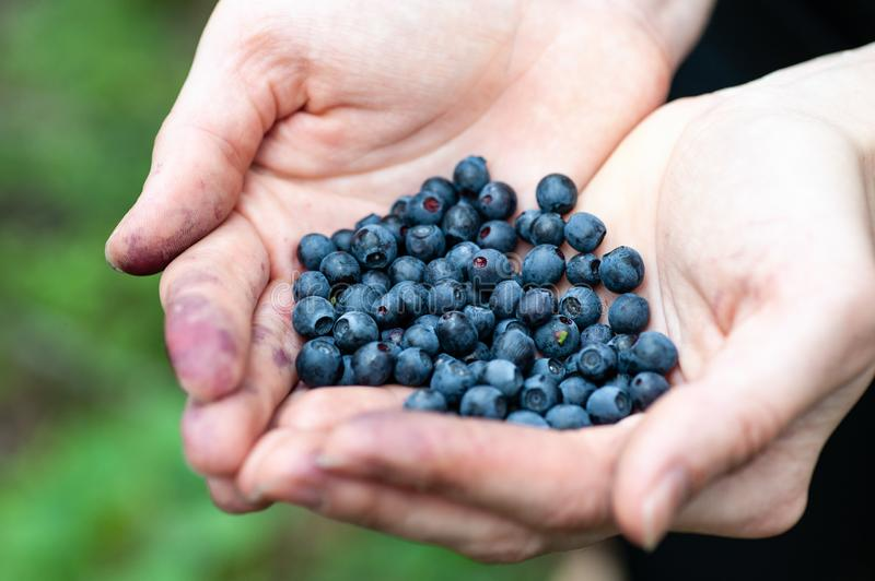 Woman`s hand with blueberries. Woman holding in hands fresh blueberries stock images