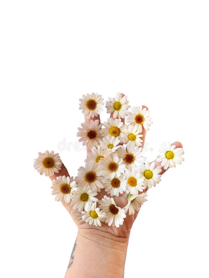 Woman`s hand with daisies isolated on white background with copy space royalty free stock images