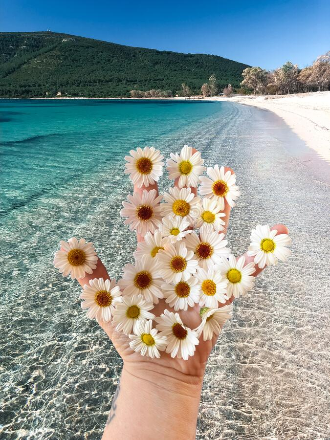 Woman`s hand with daisies on sunny summer day, Sardinia, mediterranean sea, walking on the shore. White sand and clear sky royalty free stock image