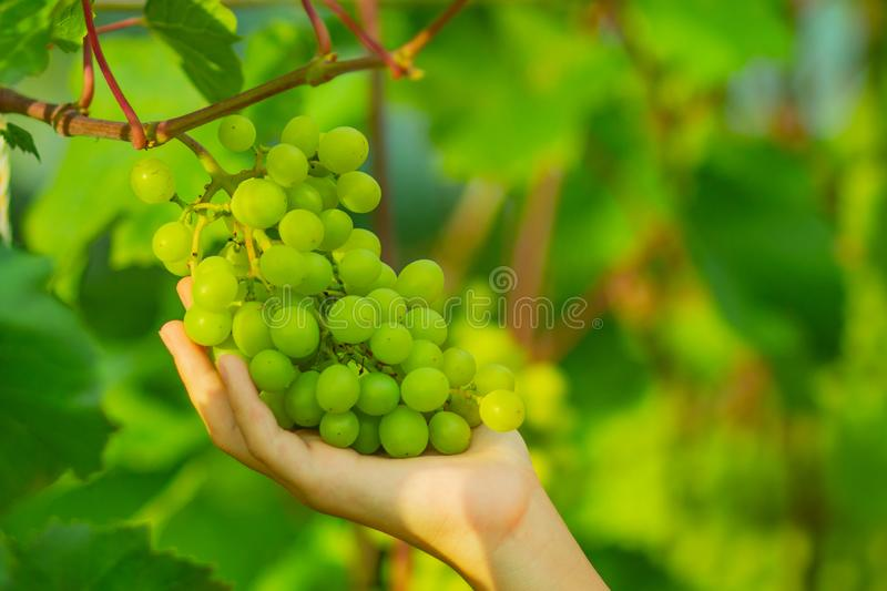 Woman`s hand is gathering green grapes on the branch. On farm yard in late Summer, early Autumn. Harvest in autumn. Ecological friendly fruit for vegans royalty free stock images
