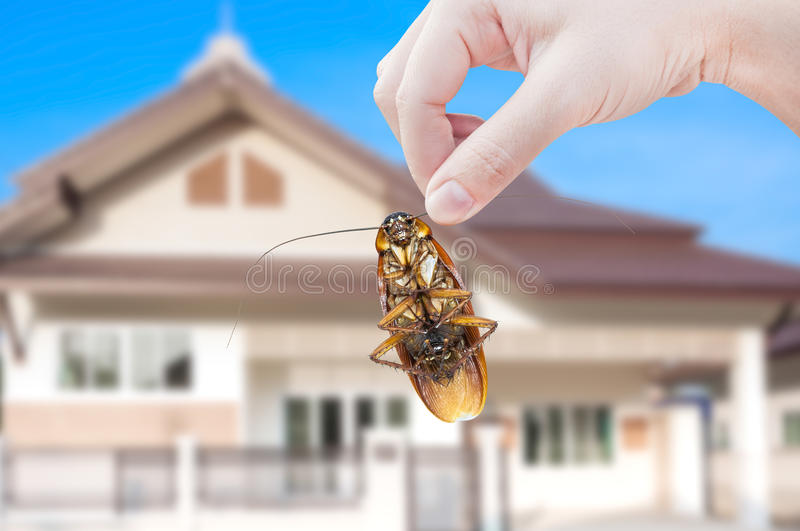 Woman's Hand holding cockroach on house background. Eliminate cockroach in house royalty free stock images