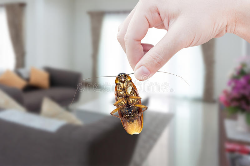 Woman`s Hand holding cockroach on room in house background. Eliminate cockroach in room house royalty free stock photography