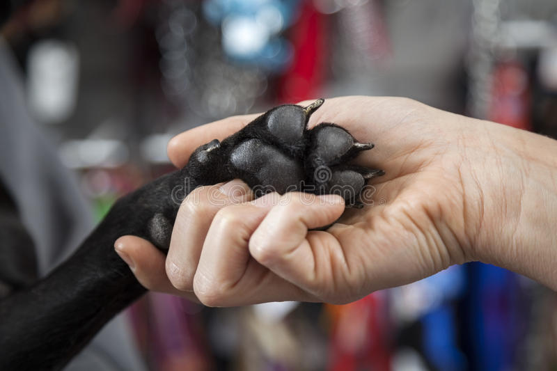 Woman's Hand Holding French Bulldog's Paw royalty free stock photo