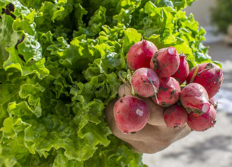 Woman`s hand holding fresh,home grown radishes and lettuce. stock image