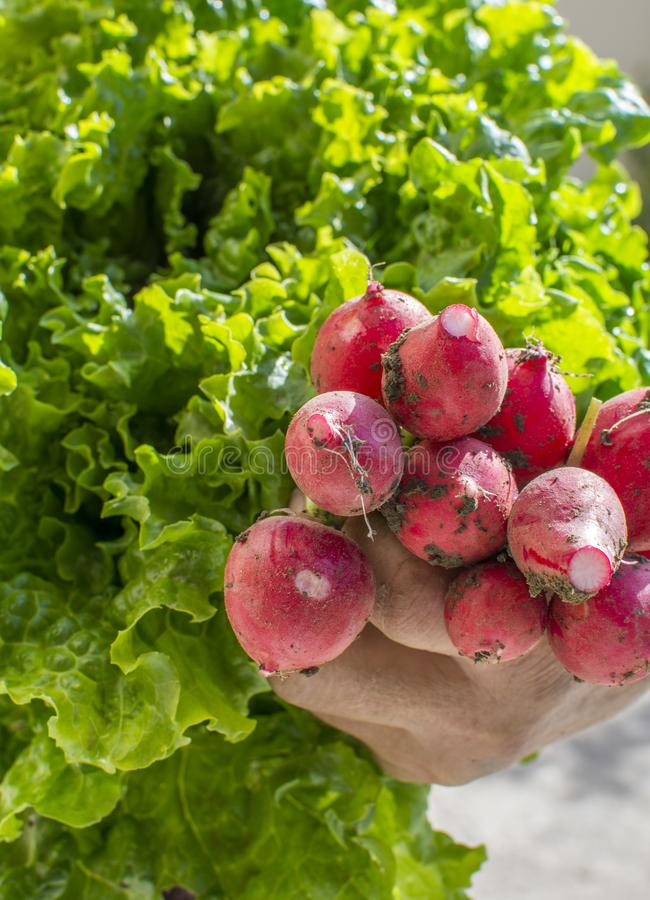 Woman`s hand holding fresh,home grown radishes and lettuce. Amazing Greece stock photography