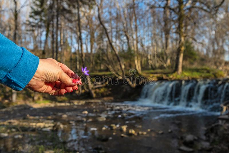 A woman`s hand  a flower over a waterfall stock photo