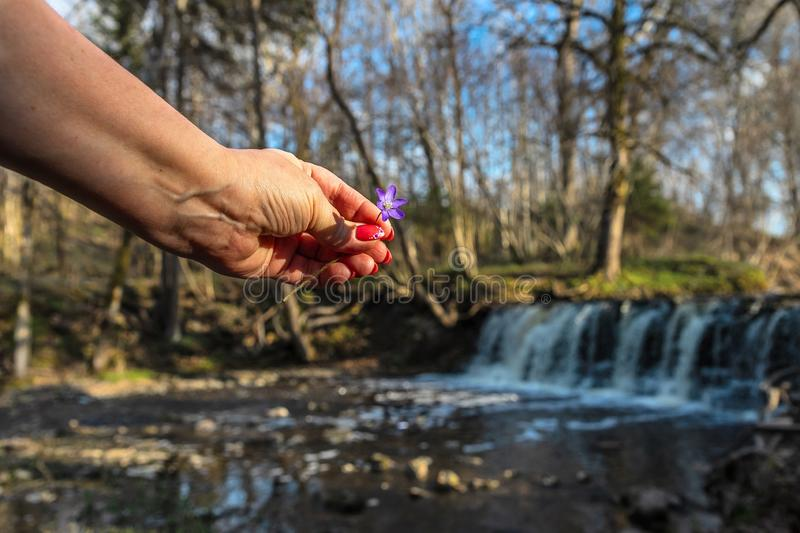 A woman`s hand a flower over a waterfall royalty free stock images