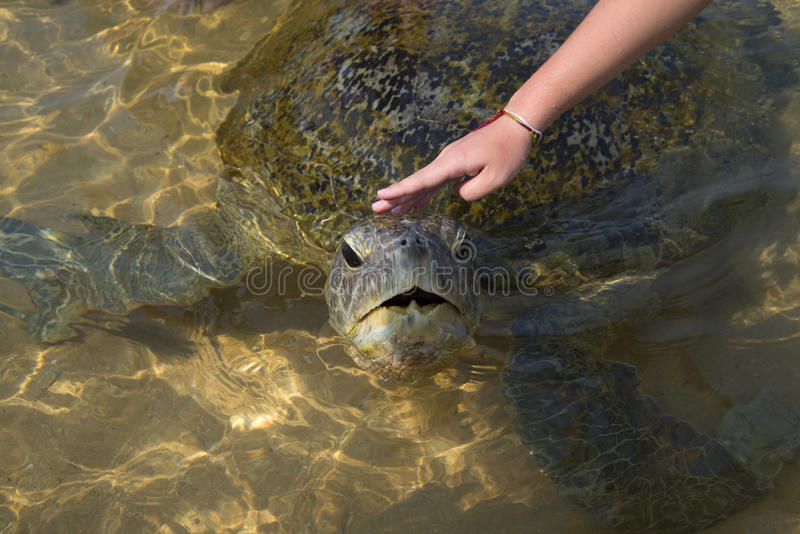 Woman's hand stroking the head of a large sea turtle. Sri Lanka royalty free stock photography