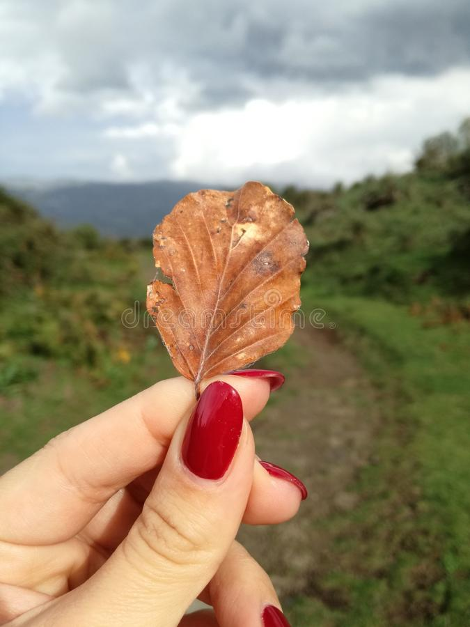 Womans hand and yellow leaf. Womans hand with red nails takes a leaf stock images