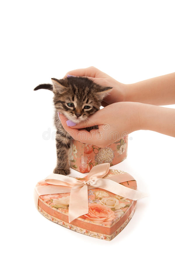 Woman's hands with cute kitten in heart-shaped box royalty free stock image