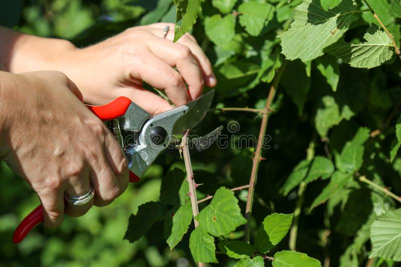 Woman`s hands with garden pruning shears royalty free stock photography
