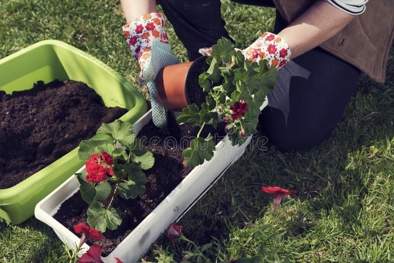Woman`s hands in gloves planting red pelargonium stock photo