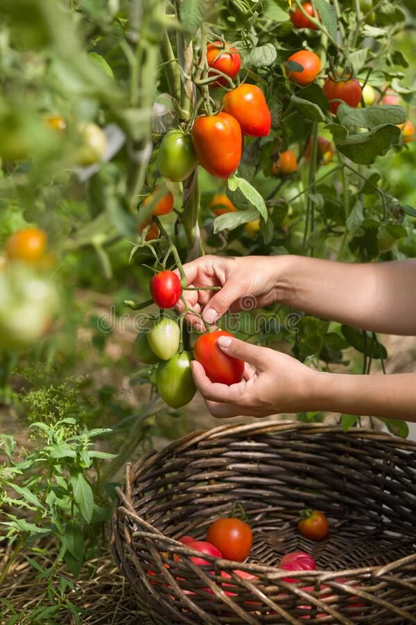 Free Woman`s Hands Harvesting Fresh Organic Tomatoes In Her Garden On A Sunny Day. Farmer Picking Tomatoes. Vegetable Growing Stock Images - 175261684