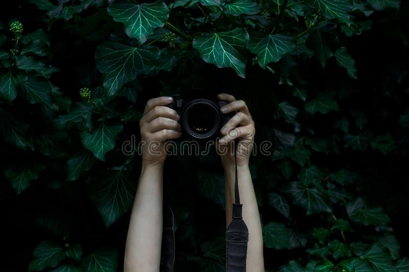 Woman`s hands holding camera and snapping photos hidden in the dark. Ivy leaves stock photo
