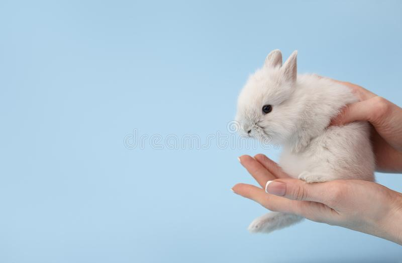 Woman`s hands holding bunny rabbit stock images