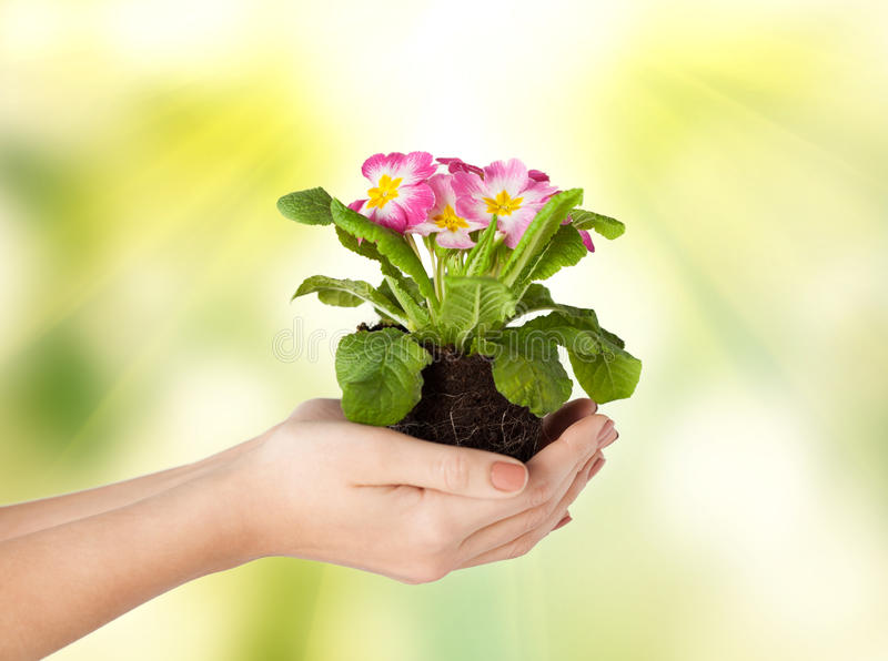 Woman S Hands Holding Flower In Soil Royalty Free Stock Photo