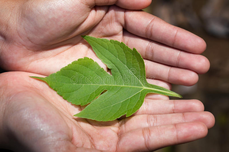 Woman`s hands holding a Green Leaves stock images