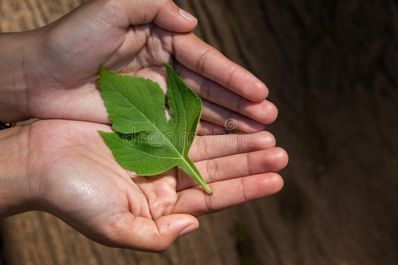 Woman`s hands holding a Green Leaves royalty free stock photography