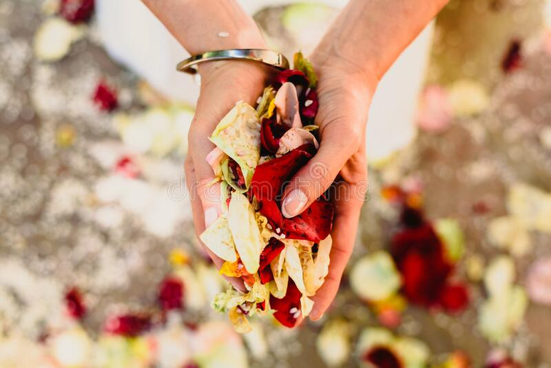 Woman`s hands holding rose petals.  royalty free stock image