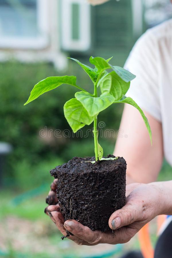 Woman& x27;s hands holding young paprika plant with ground stock images