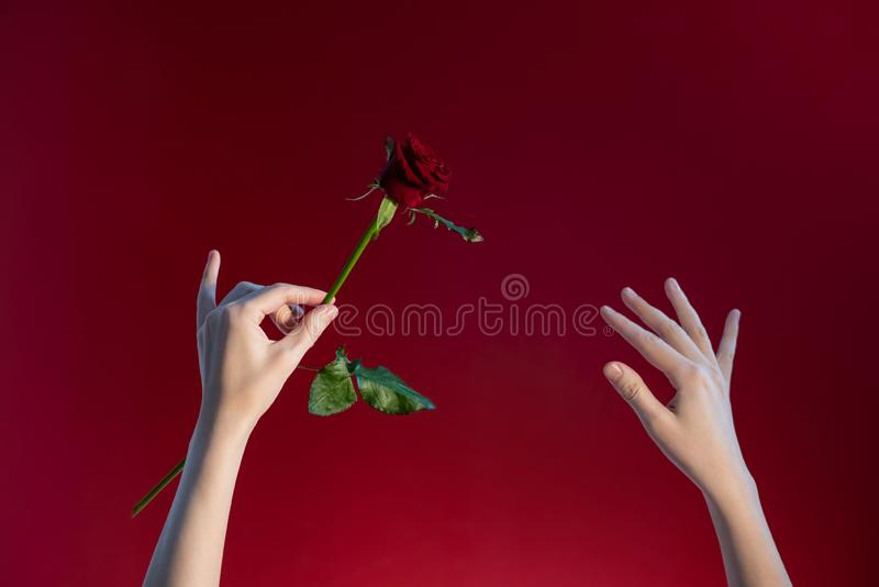 Woman`s hands with a rose on a red background royalty free stock photos