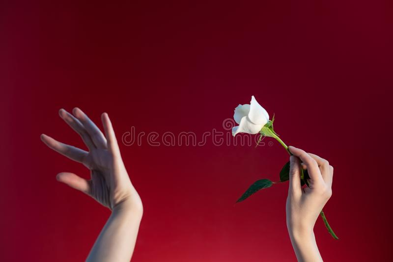 Woman`s hands with a rose on a red background stock photography
