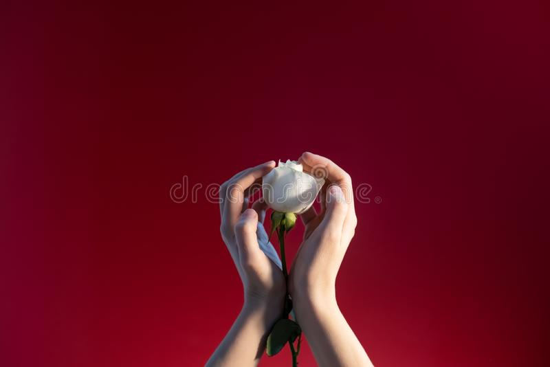 Woman`s hands with a rose on a red background stock images