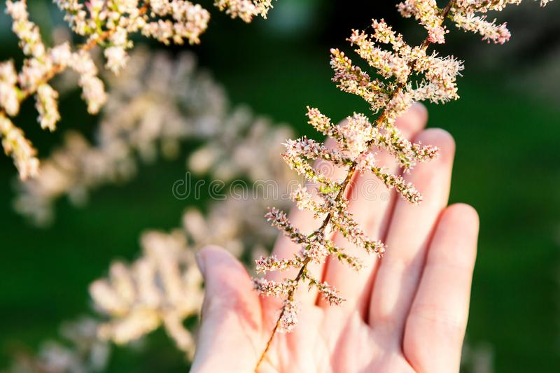 Woman`s young hand with blossom branch of bush with very small white and pink flowers. Summer, flowers. Background royalty free stock image