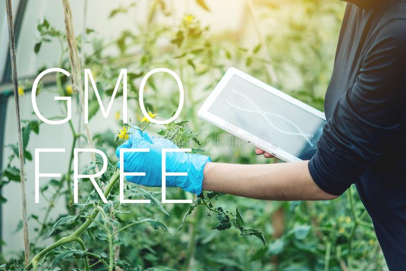 Woman scientist testing the plant for the presence of genetic modification. GMO-free products and organisms. Woman scientist genetic engineer with a tablet stock illustration