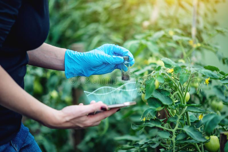 Woman scientist testing the plant for the presence of genetic modification. GMO-free products and organisms. Woman scientist genetic engineer with a tablet royalty free illustration