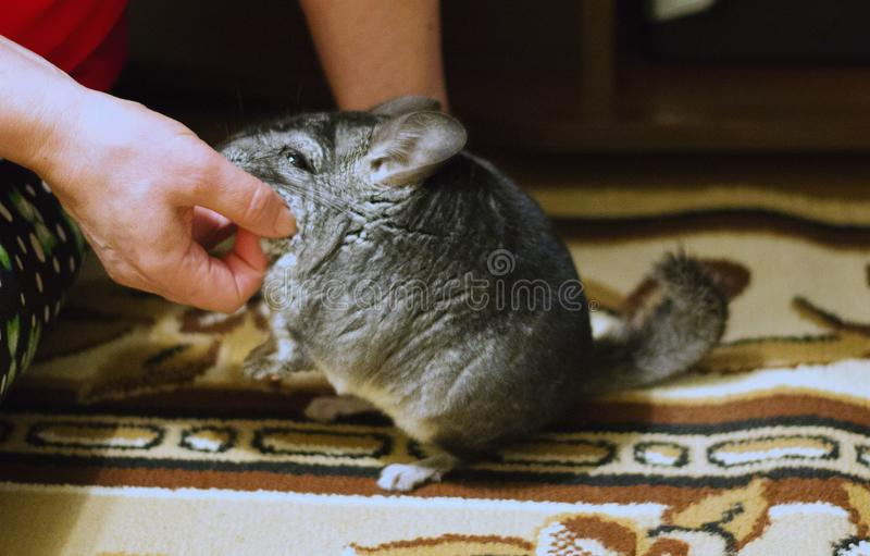Woman is scratching grey fluffy chinchilla. Adorable pet with so. Ft fur royalty free stock photo