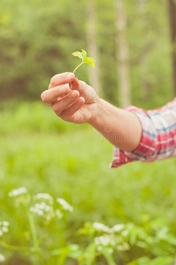 A woman showing an eatable plant. A Finnish nature offers lots of clean raw food which is ecological, healthy and nutritious royalty free stock photo