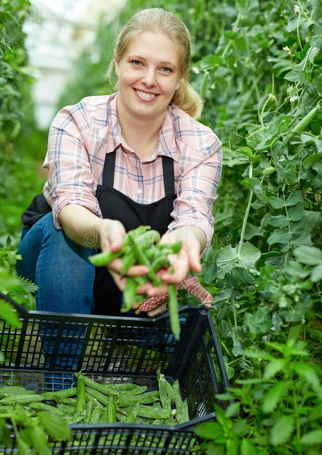 Free Woman Showing Harvest Of Green Peas Royalty Free Stock Photo - 198487595